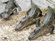 Alligators in Vermilion