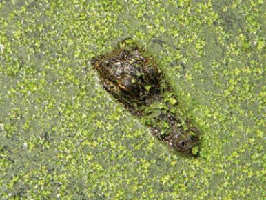alligator in duckweed in Vermilion Parish